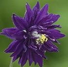 Aquilegia vulgaris var.stellata 'Blue Barlow' (Barlow Series) (granny's bonnet)