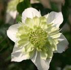Clematis florida var. flore pleno (clematis (group 2))