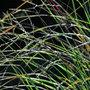 Eragrostis curvula 'Totnes Burgundy' (love grass)