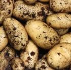 potato 'Charlotte' (potato   second early, Scottish basic seed potato)