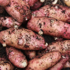 potato 'Pink Fir Apple' (potato   maincrop, Scottish basic seed potato)