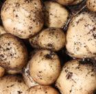 potato 'Rocket' (potato   extra early salad, Scottish basic seed potato)