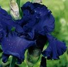 Iris 'Mer du Sud' (bearded iris)