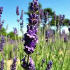 Lavandula angustifolia 'Elizabeth' (lavender)