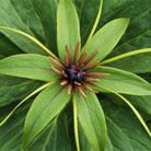 Paris polyphylla (paris bulbs)