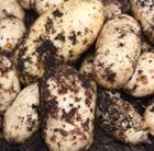 potato 'International Kidney' (potato   early maincrop)