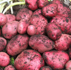 potato 'Red Duke of York' (potato   first early, Scottish basic seed potato)