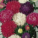 Aster Milady Mix Seeds