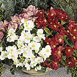 Begonia Lotto Mix Seeds