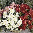 Begonia Lotto Mix Seeds