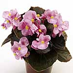 Begonia Nightlife Pink Seeds