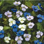 Commelina Starry Starry Night Seeds