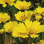 Coreopsis Be Bop Seeds