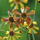 Coreopsis Sea Shells Red Seeds