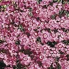 Dianthus Bagpuss Seeds