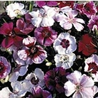 Dianthus Sugar Baby Mix Seeds