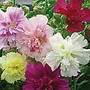 Hollyhock Showgirls Seeds