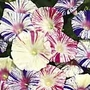 Ipomoea Kiss Me Quick Seeds (Morning Glory)