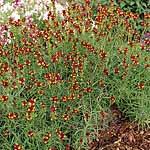 Linaria Flamenco Seeds