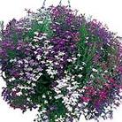 Lobelia Cascade Mix Seeds