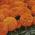 Marigold - African Space Hopper Seeds