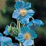 Himalayan Poppy Seeds (Meconopsis betonicifolia)