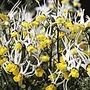 Nemesia Masquerade Seeds