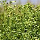 Nicotiana Meercat Seeds