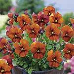 Pansy Mulberry Shades Seeds