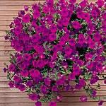Petunia F1 Purple Wave SupaSeeds