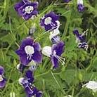 Phacelia Symphony Seeds