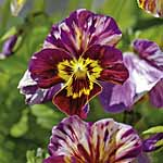 Viola Brush Strokes Seeds