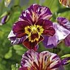 Viola Brush Strokes Seeds