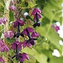 Purple Bell Vine Seeds (Eden Project range) (Rhodochiton atrosanguineum)