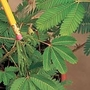 Sensitive Plant Seed