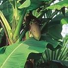 Banana Plant Seed