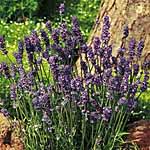Fragrant Lavender Seed
