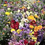 Mediterranean Wildflower Mix Seed