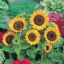 Patio Sunflower Seed (Eden Project range) (Helianthus annuus 'Big Smile')