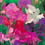 Sweet Pea Seeds from Yesteryear