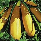 Courgette F1 Atena Seeds