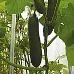 Cucumber F1 Byblos Seeds