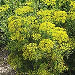 Herb Seed - Dill Compatto