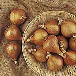 Shallot Bulbs Hative De Niort - French