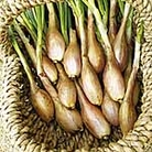 Shallot Bulbs Pesandor - French