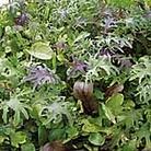 Speedy Veg Seed - Leaf Salad Californian Mix