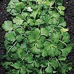 Herb Coriander Plants