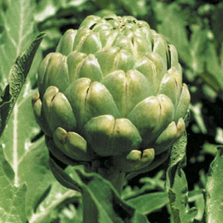 Artichoke Plants - Emerald