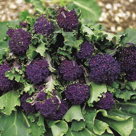 Broccoli Plants - Summer Purple (Sprouting)