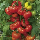 Tomato Grafted Plants -Belriccio